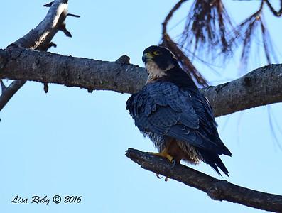 Peregrine Falcon  - La Jolla Cove - 12/3/2016