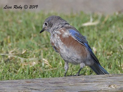 Western Bluebird  - 9/13/2019 - Lake Murray