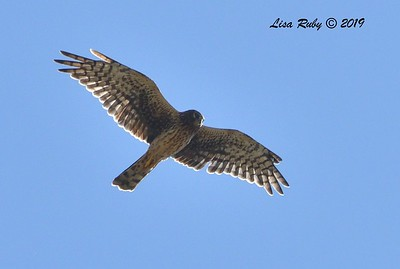 Northern Harrier  - 9/13/2019 - Lake Murray