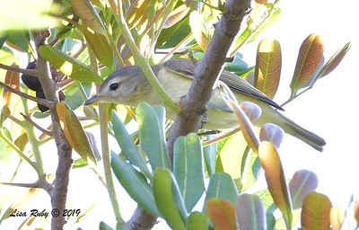 Warbling Vireo  - 9/13/2019 - Lake Murray