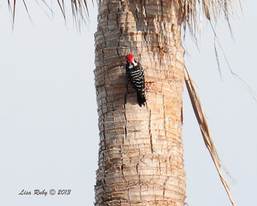 Male Nutall's Woodpecker