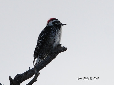 Nutall's Woodpecker
