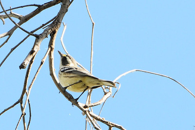 Possible hybrid Black-throated Grey and Towsend's Warbler.