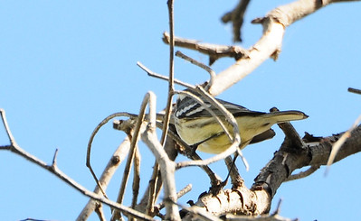 Possible hybrid Black-throated Grey and Towsend's Warbler