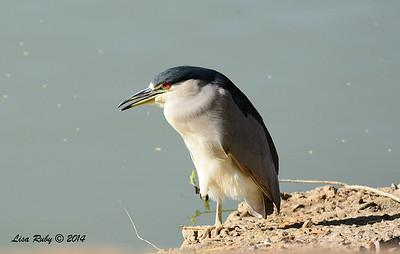 Black-crowned Night Heron - 11/16/2014 - Lindo Lakes