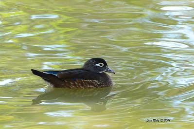 Female Wood Duck - 11/16/2014 - Lindo Lakes