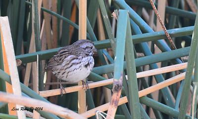 Song Sparrow - 11/16/2014 - Lindo Lakes