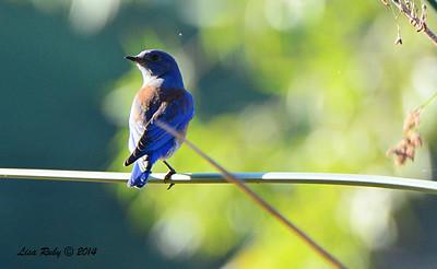 Western Bluebird - 11/16/2014 - Lindo Lakes