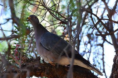 Band-tailed Pigeon - 11/16/2014 - Lindo Lakes