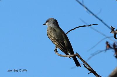 Cassin's Kingbird - 11/16/2014 - Lindo Lakes