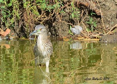 Immature Black -crowned Night Heron - 11/16/2014 - Lindo Lakes