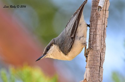 Pygmy Nuthatch  - 6/4/2016 - Mt. Laguna Visitor's Center