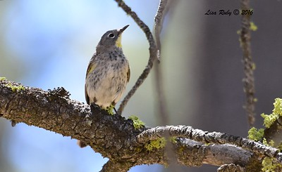 Yellow-rumped Warbler  - 6/4/2016 - Laguna Meadows