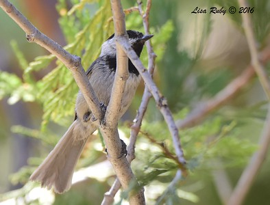 Mountain Chickadee  - 6/4/2016 - Mt. Laguna Visitor's Center