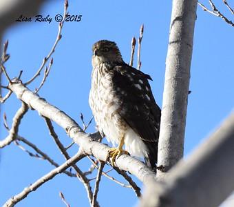 Juvenile Sharp-shinned Hawk - 12/27/2015 - Oceanside CBC - dog park