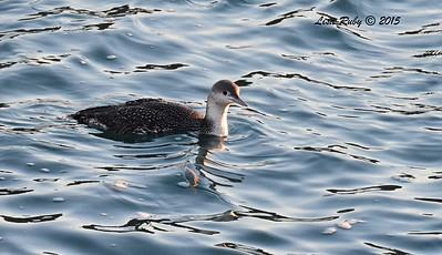 Red-throated Loon - 12/27/2015 - Oceanside CBC , near Tamarack