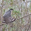 Cooper's Hawk  - 1/3/2017 - Bernardo Bay Trail, Lake Hodges