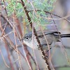 California Gnatcatcher - 1/3/2017 - Bernardo Bay Trail, Lake Hodges