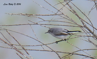 Blue-gray Gnatcatcher  - 1/3/2017 - Bernardo Bay Trail, Lake Hodges