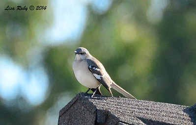Northern Mockingbird  - 1/3/2015 - RB CBC - Rancho Bernardo Neighborhood