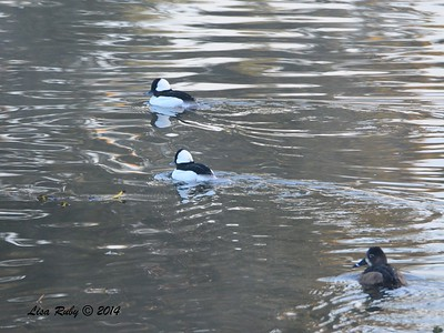 Bufflehead and Ring-necked Duck - 1/3/2015- RB CBC, Golf Course