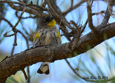 Euc-faced Yellow-Rumped Warbler - 1/3/2015 - RB CBC, edge of Golf Course off Verano Drive