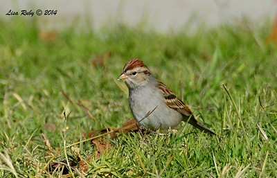Chipping Sparrow - 1/3/2015 - RB CBC, Bernardo Winery