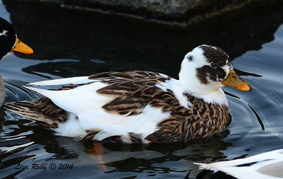 Domestic Hybrid Duck - 1/3/2015 - RB CBC - Webb Park