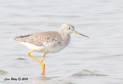 Greater Yellow Legs - Salt Works - 10/27/13