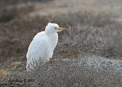 Cattle Egret - Salt Works - 10/27/13