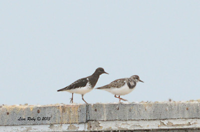 Black and Ruddy Turnstone - Salt Works - 10/27/13