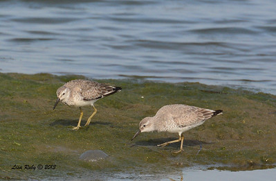 Red Knots - Salt Works - 10/27/13