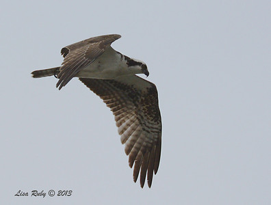 Osprey - Salt Works - 10/27/13