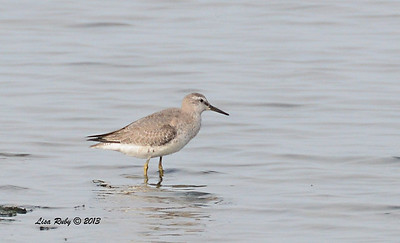 Red Knot - Salt Works - 10/27/13