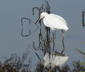 Snowy Egret - Salt Works - 10/27/13