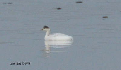 Leucistic Eared Grebe - Salt Works - 10/27/13