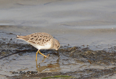 Least Sandpiper - Salt Works - 10/27/13