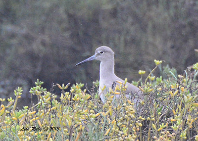 Willet - Salt Works - 10/27/13