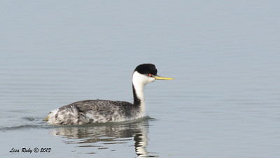 Western Grebe - Salt Works - 10/27/13