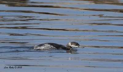 Possible Horned Grebe or else Eared - Salt Works - 10/27/13