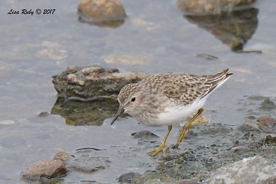 Least Sandpiper - 11/12/2017 - Salt Works