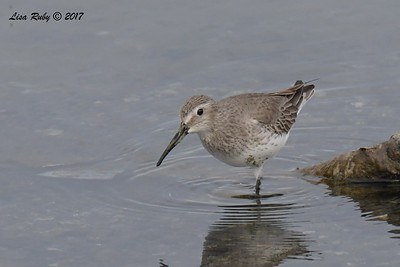 Dunlin - 11/12/2017 - Salt Works