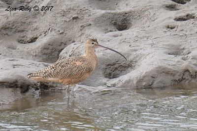 Long-billed Curlew - 11/12/2017 - Salt Works