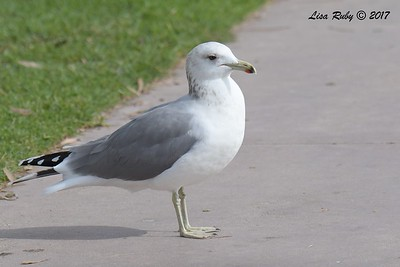 California Gull - 11/12/2017 - Bayside Park, J street Marina