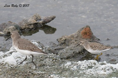 Dunlin and Least Sandpiper - 11/12/2017 - Salt Works