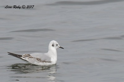 Bonaparte's Gull - 11/12/2017 - Salt Works