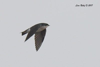 Tree Swallow - 11/12/2017 - Salt Works