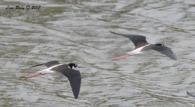 Black-necked Stilt - 11/12/2017 - Salt Works