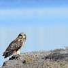 Short-eared Owl - 11/22/2015 - Salt Works