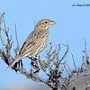 Large-billed Savannah Sparrow - 11/22-2015 - Salt Works